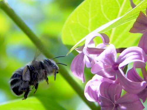 Black Bumble Bee >> Grey and Black Striped Bumble Bee   Lilac Bush   Todd Petit   Flickr