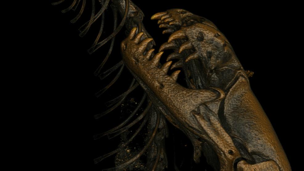 Worm lizard fossil