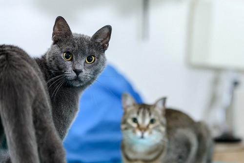 Cartujo, gato azul de ojos cobre tímido y juguetón esterilizado, nacido en Febrero´14, en adopción. Valencia. ADOPTADO. 40401419880_f730ded9e1