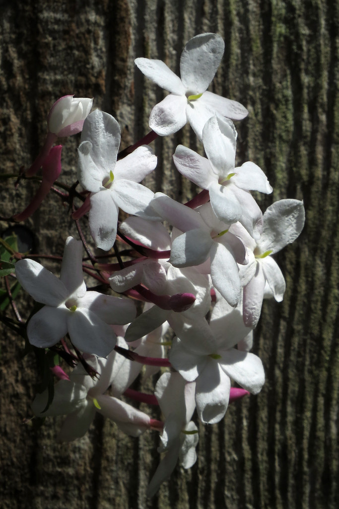 Small white flowers growing through back fence in san fran flickr small white flowers growing through back fence in san francisco yard 180430 152002 c4 mightylinksfo
