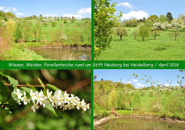 Stift Neuburg Kloster Heidelberg Neckar Natur Kultur April 2018 Foto(s): Brigitte Stolle Bäume Wiesen Weiden