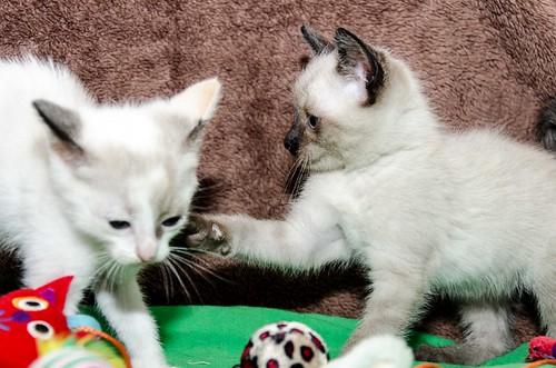 Boston, gatito Siamés Tabby reguapo y juguetón esterilizado, nacido en Marzo´18, en adopción. Valencia. ADOPTADO. 27102288217_a0e7429bd8