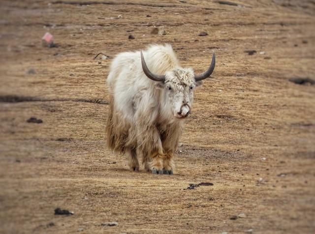 Yak blanco en el Tíbet