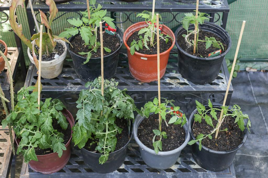 Tomaten Jungpflanzen Im Gewachshaus April 2018 Canon Eos 6 Flickr