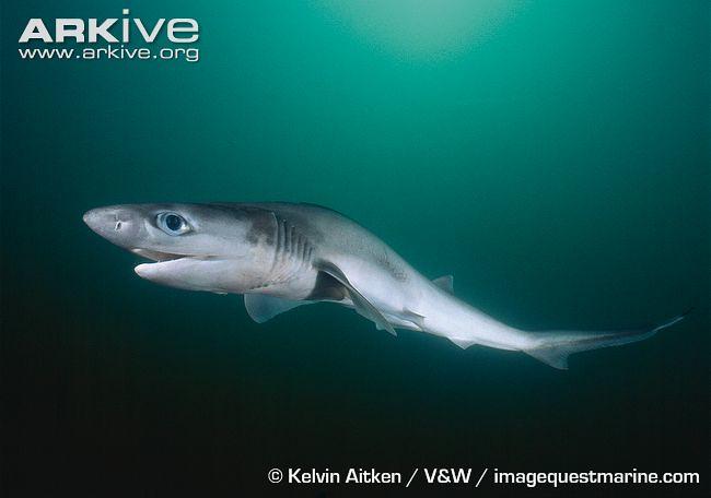 Tiburón de siete branquias