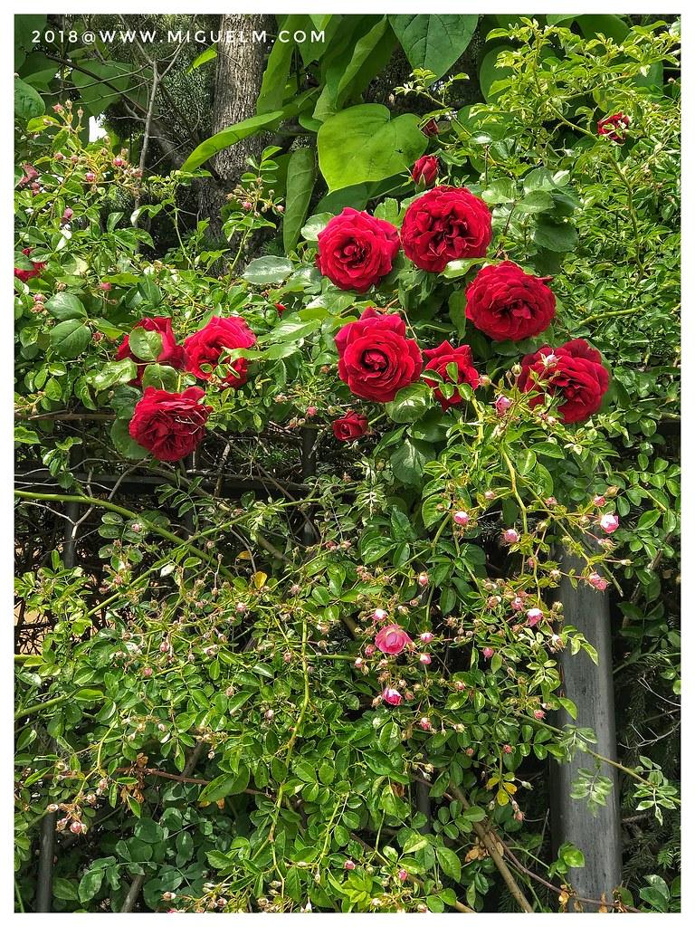 Las Rosas De Mayo Las Más Bonitas Miguel Martín González Flickr
