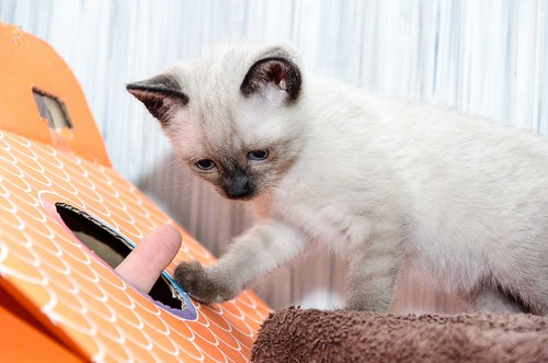 Boston, gatito Siamés Tabby reguapo y juguetón esterilizado, nacido en Marzo´18, en adopción. Valencia. ADOPTADO. 41971153951_6be7e57859