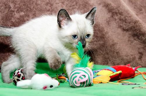 Boston, gatito Siamés Tabby reguapo y juguetón esterilizado, nacido en Marzo´18, en adopción. Valencia. ADOPTADO. 27102287187_4c8555bc53