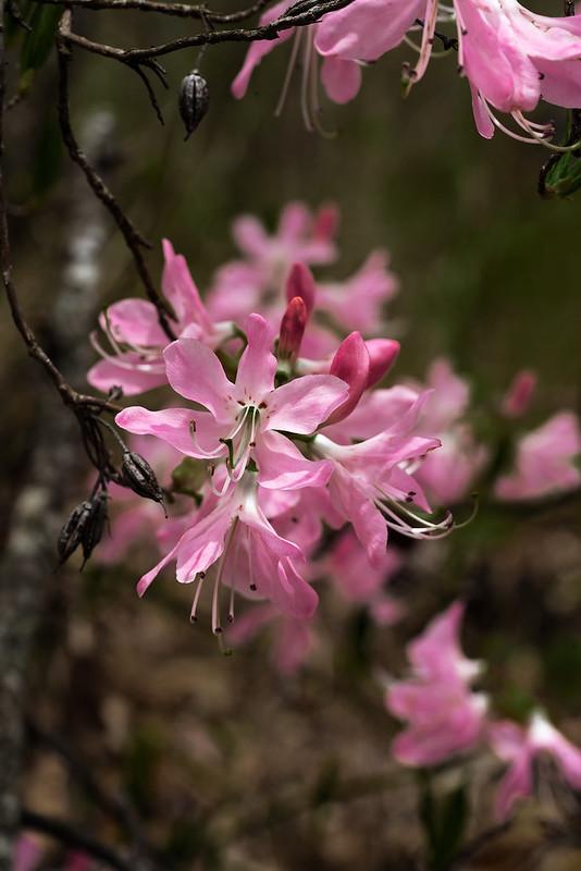 Pink Shell Azalea