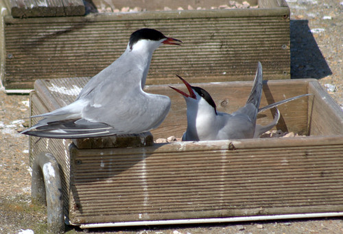 Common Terns at Preston Docks | by Tony Worrall