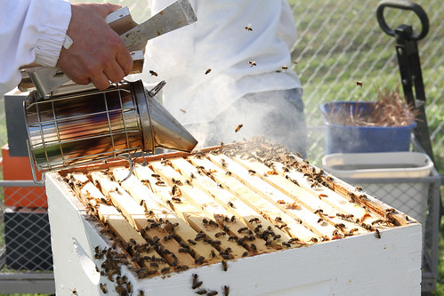 A  research  technician  applies  smoke  to  calm  the  bees  before  inspecting  the  colony