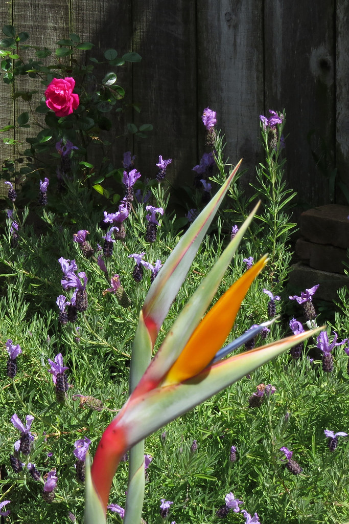 Birds of Paradise, lavender, and rose San Francisco backya… | Flickr