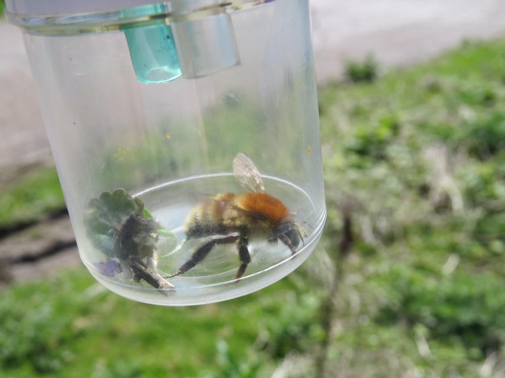 Brown Banded Carder Bee (Bombus Humuilis)
