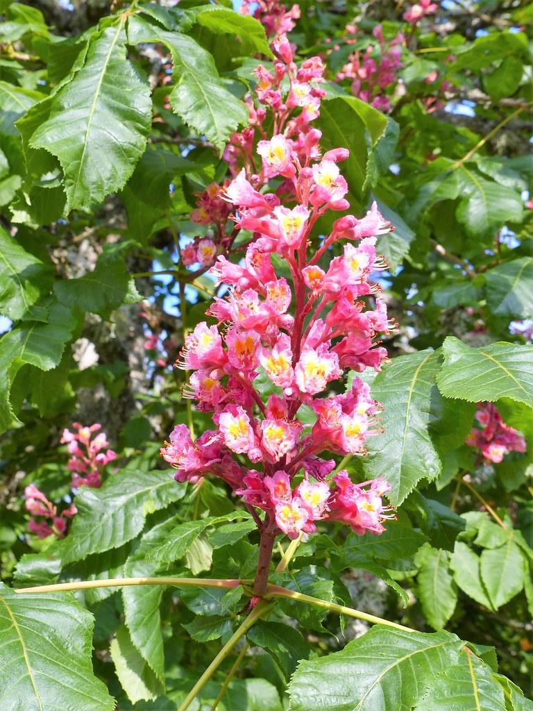 Fleur De Chene Rose Marie Paule Rouge Pullon Flickr