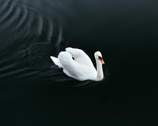 Un cisne blanco sobre aguas negras