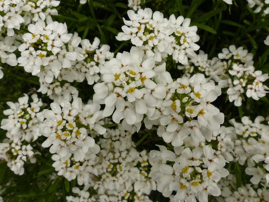 White Flowers Dew On The Petals River Crane Sanctuary Flickr