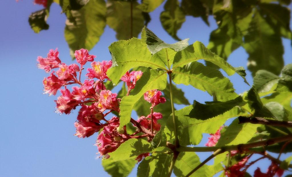Pink horse chestnut flower csilla svenyhazy flickr pink horse chestnut flower by sovcsil mightylinksfo