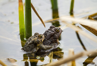 Toad Love | by Matt Champlin