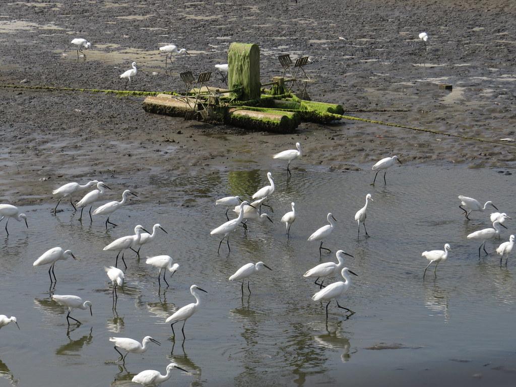 蚶仔寮路的魚塭收成後,可見大群小白鷺、高蹺鴴,及少量但多種類的鷸科在此覓食。圖片來源:林務局提供。
