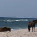 200608 - Assateague - ponies - on the beach - 209699210_faad2c79ea_o