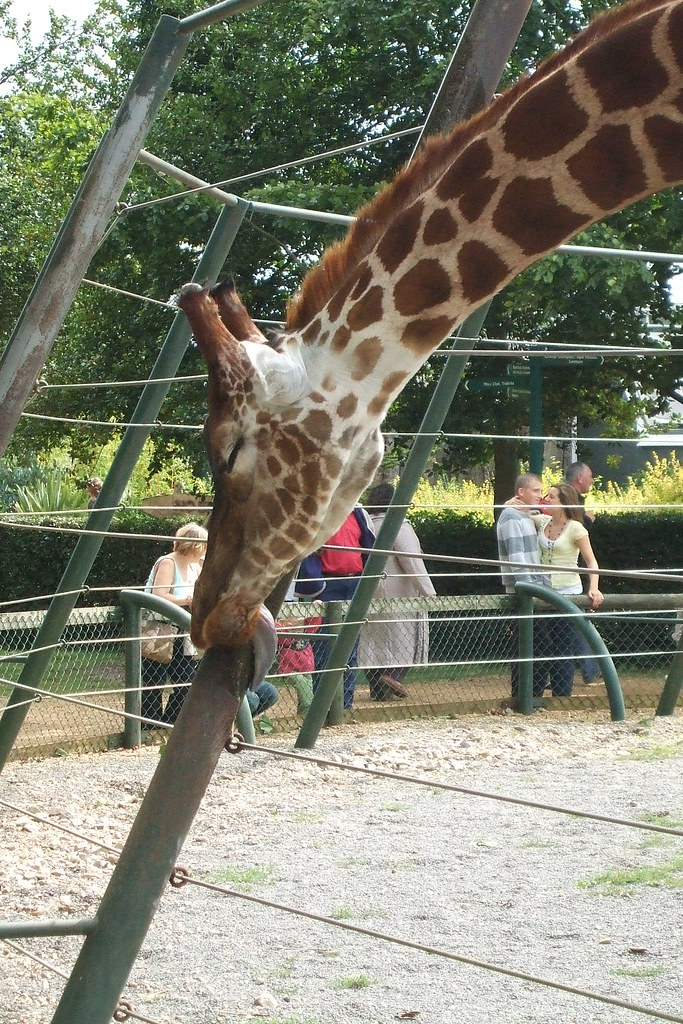 Why do giraffes lick poles