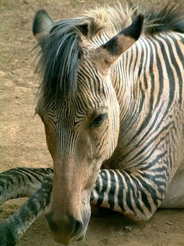 Zebra hybrid | Mickey Champion | Flickr