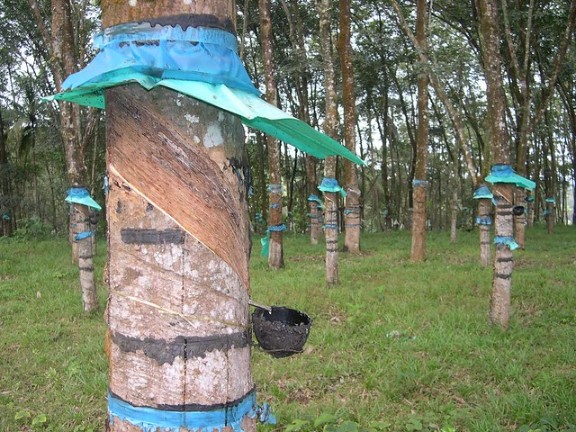 Rubber Tapping Each Night A Rubber Tapper Removes A Thin