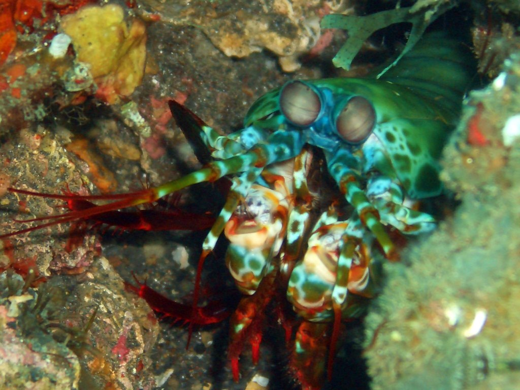 Mantis Shrimp (25 cm) 1 | I was lucky to find this elusive