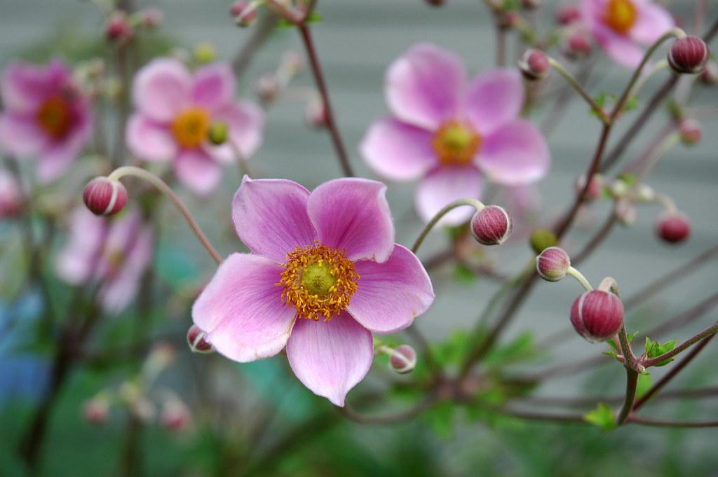 pink windflower japanese anemone i never noticed this be flickr. Black Bedroom Furniture Sets. Home Design Ideas
