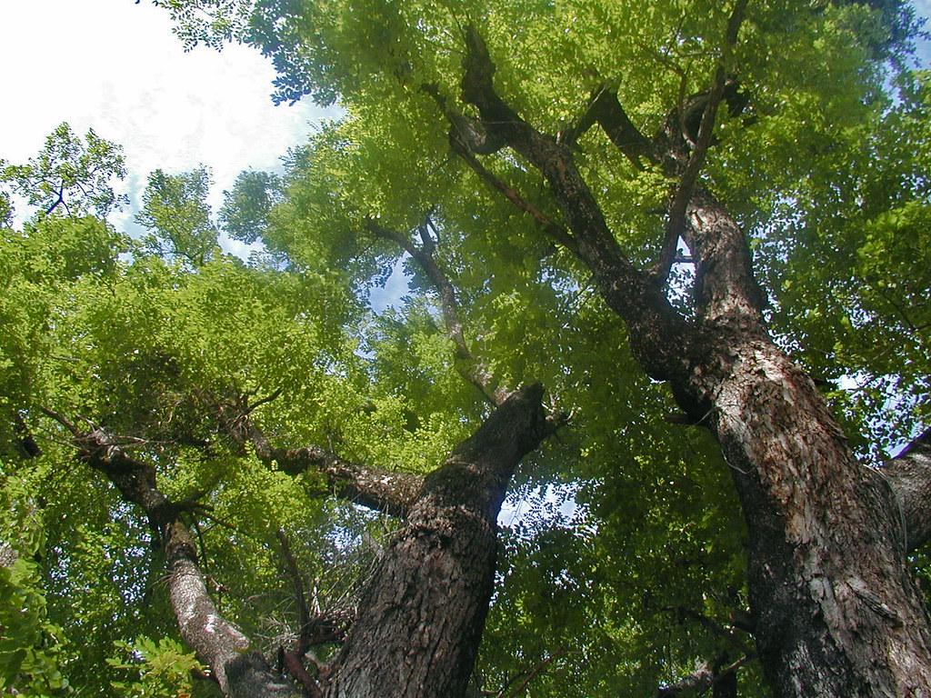 Cây gỗ hương đỏ