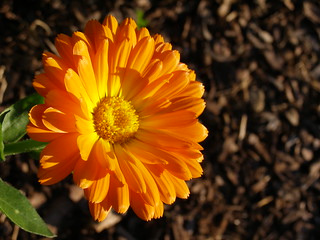 Calendula (Flowers in Tanja's Garden) | by jerrycat