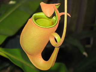 Pitcher Plant-Nepenthes bicalcarata | by aneye4wonder (Ineta McParland)