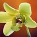 Dendrobium Suree Gold