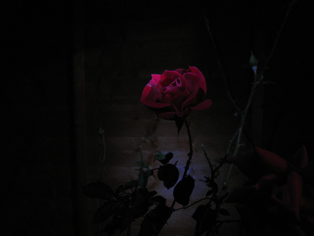 dark night roses