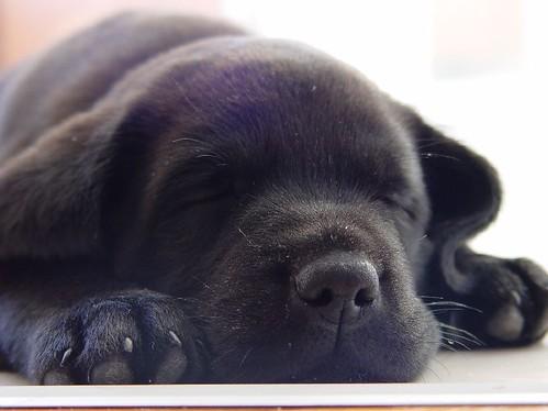 Pictures of Black Labradors Puppies Black Labrador Puppy