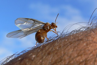 Queen Ant on My Arm | by Corbeau du Nord
