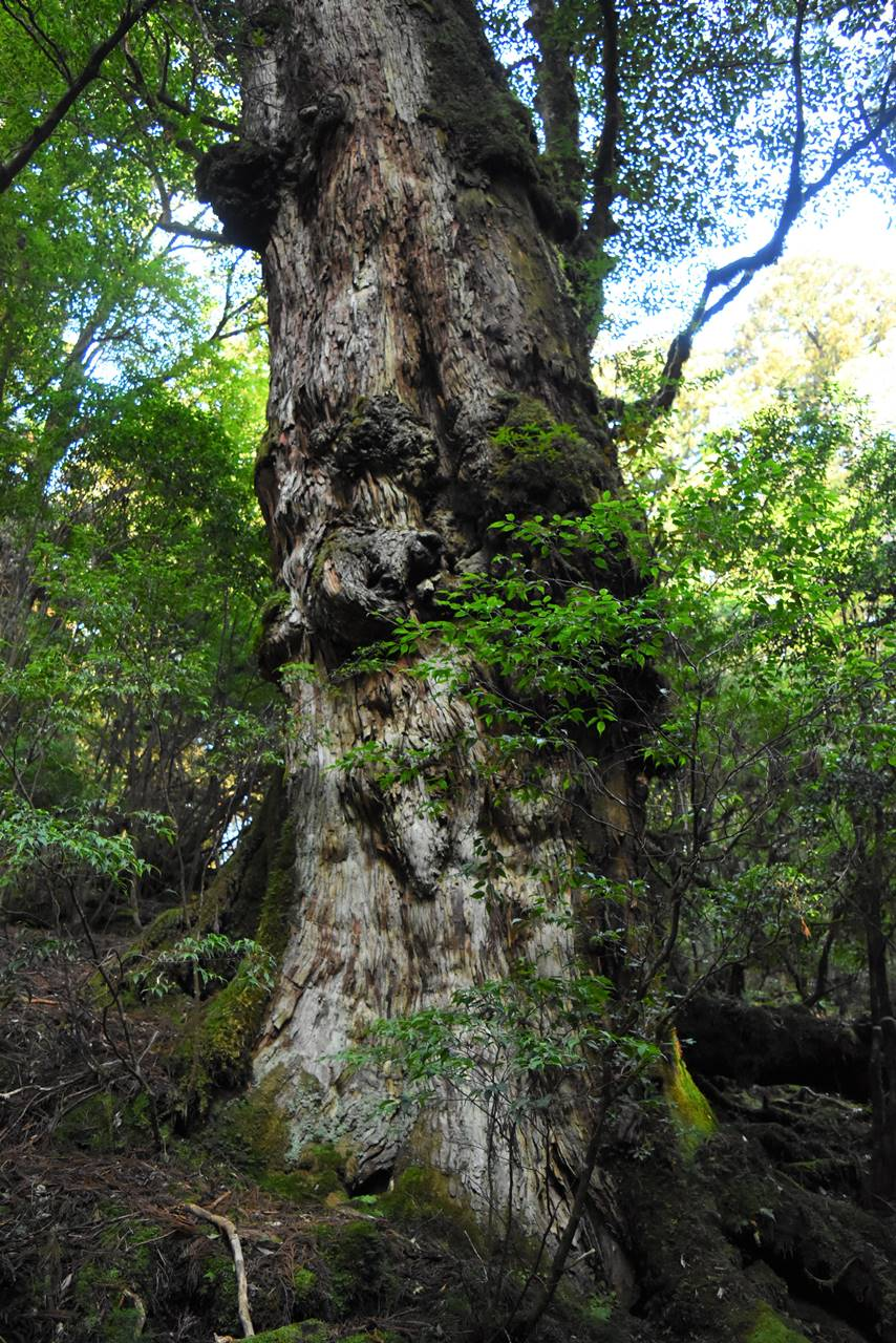 太忠岳登山道の巨大な杉