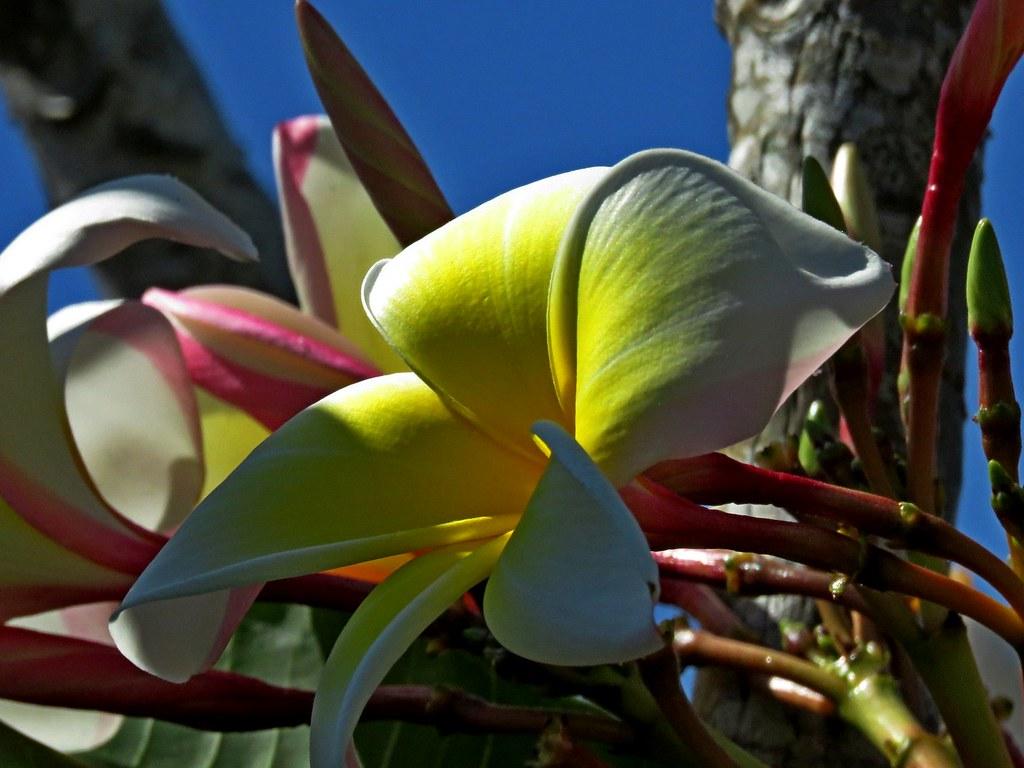 Frangapani hawaiian lei flower marcs yard wayne t tom frangapani hawaiian lei flower by photos by the swamper izmirmasajfo