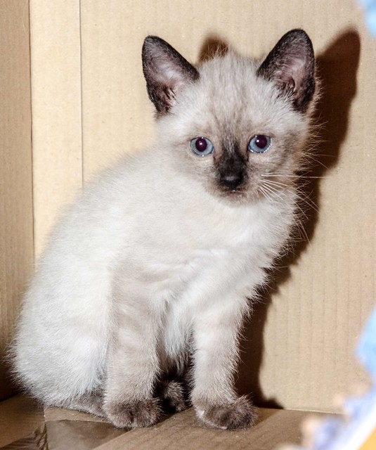 Boston, gatito Siamés Tabby reguapo y juguetón esterilizado, nacido en Marzo´18, en adopción. Valencia. ADOPTADO. 41252495724_f5cd12fe19_z