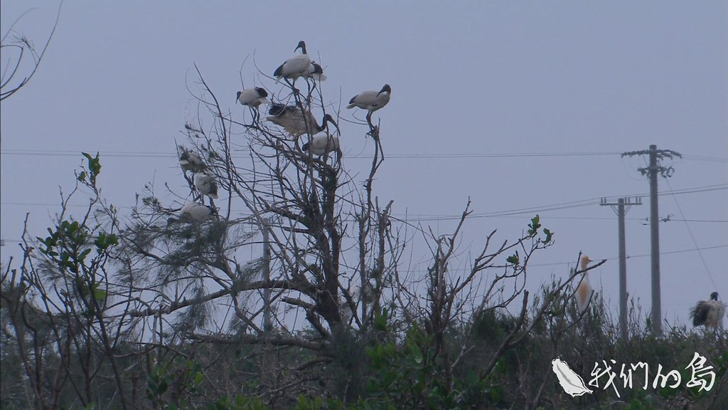 954-1-10S專家們擔心,埃及聖䴉可能衝擊鷺科鳥類生存,五股溼地已經看得出端倪。