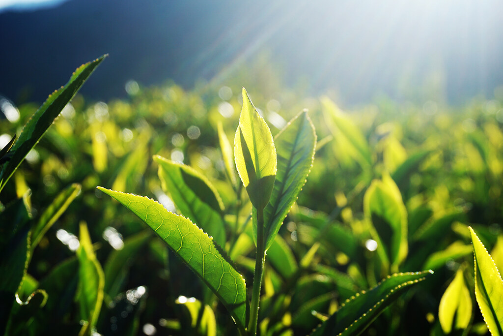 梨山茶最大特色是成茶外觀色澤翠綠,水色蜜綠帶黃,香氣清揚,茶味清醇鮮爽。
