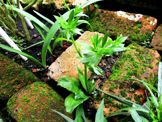 Sawtooth coriander
