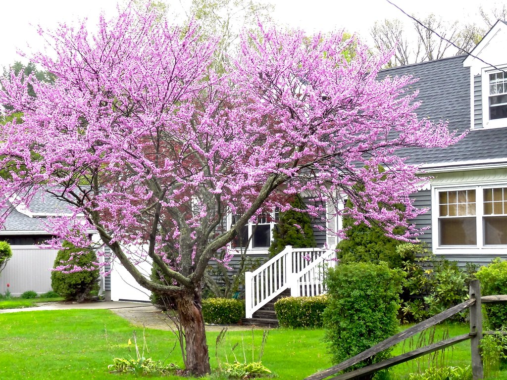 Eastern Redbud Tree The Weather Has Been Weird First It Flickr