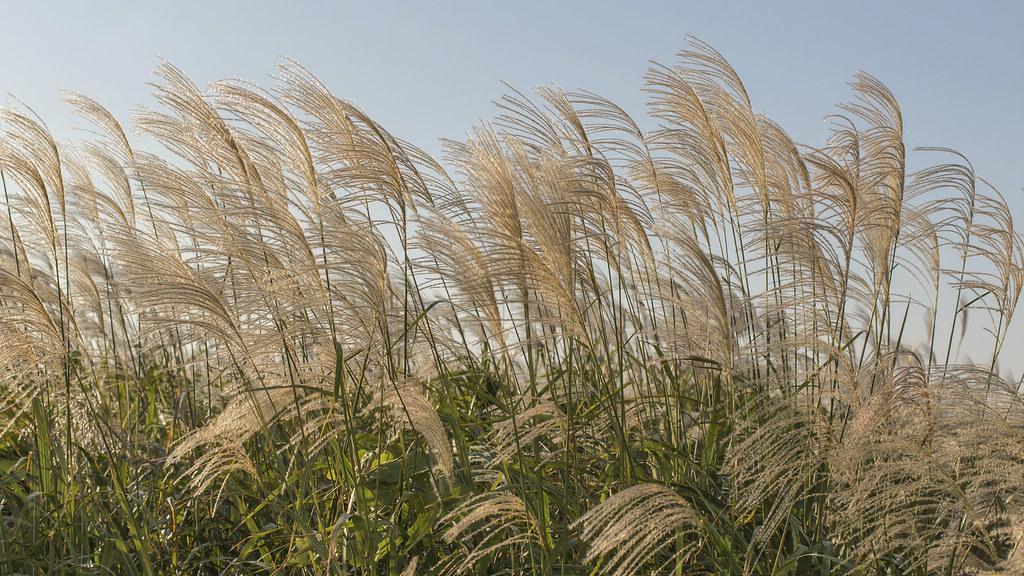 Miscanthus, a biofuel crop