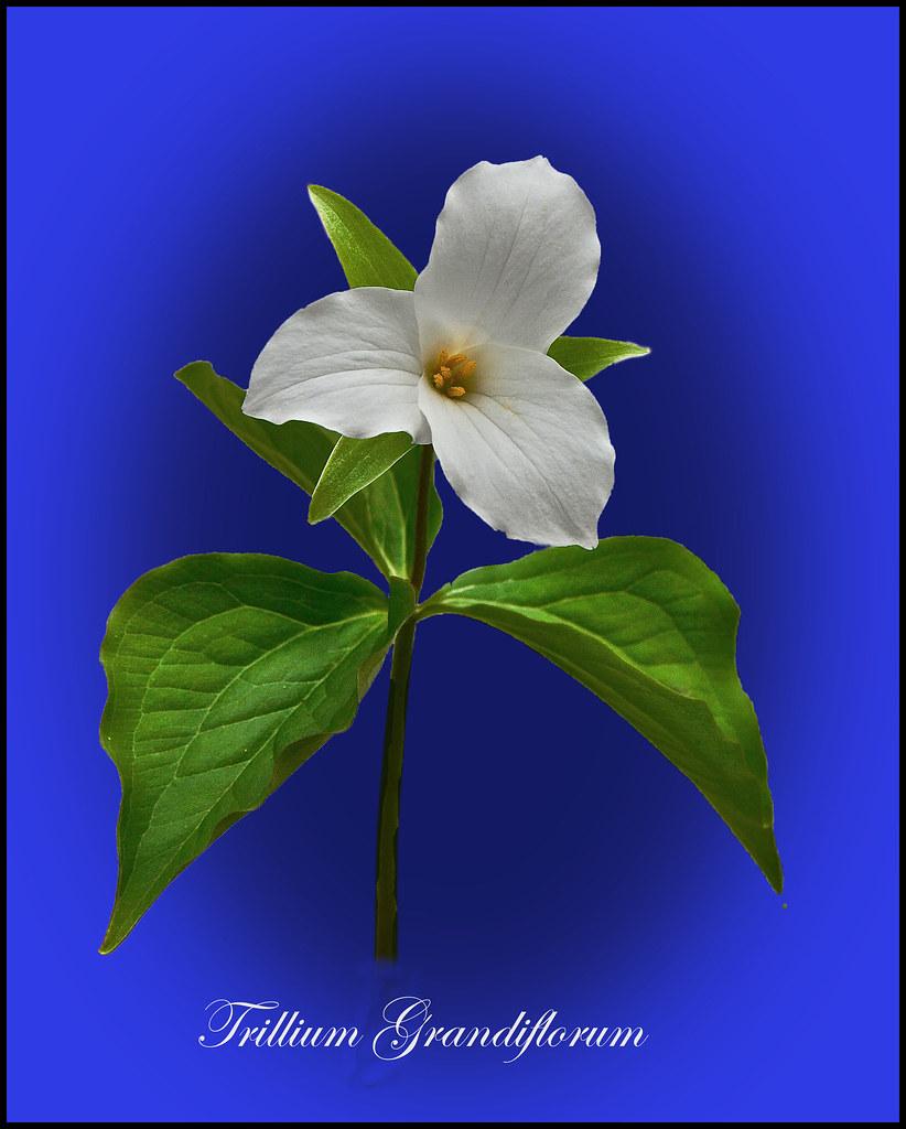Trillium Grandiflorum Trillium Trillium Wakerobin Tri F Flickr