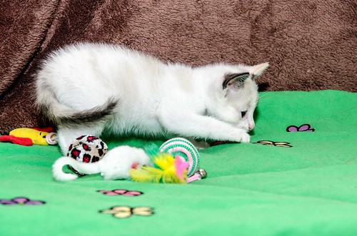 Bora, gatita Siamesa tricolor traviesa y monísima esterilizada, nacida en Marzo´18, en adopción. Valencia. RESERVADA. 41252478564_63ca13ac7e