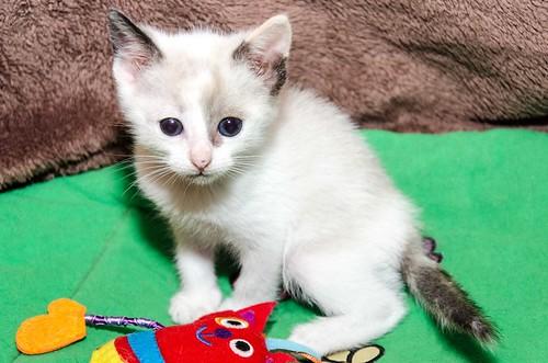 Bora, gatita Siamesa tricolor traviesa y monísima esterilizada, nacida en Marzo´18, en adopción. Valencia. RESERVADA. 41252480224_54a0b0d5a5