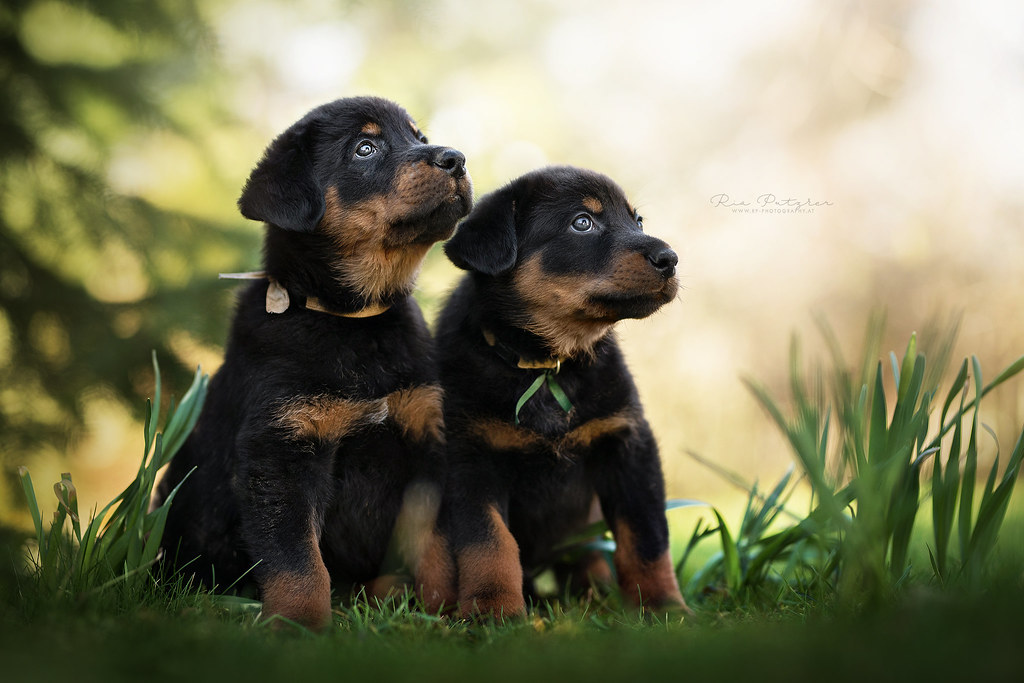 Beauceron Puppies Dackelpup Flickr