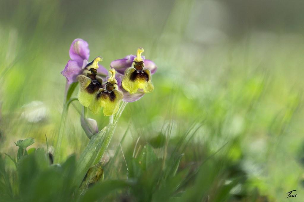 """36.- """"Ophrys tenthredinifera"""" - Txus"""