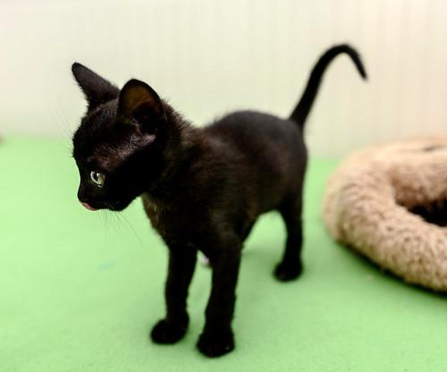 Bombón, gatita negra monísima y dulce esterilizada, nacida en Marzo´18 en adopción. Valencia. RESERVADA. 27337563187_6c9a3dba98